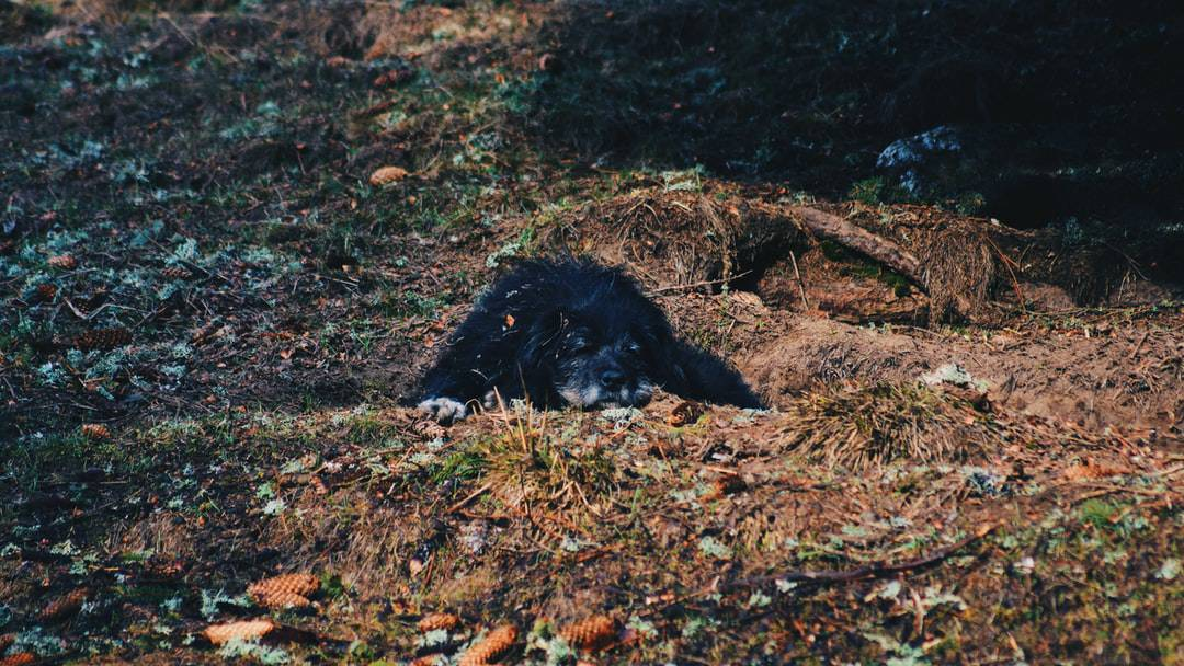 A bear lying on top of a grass covered field